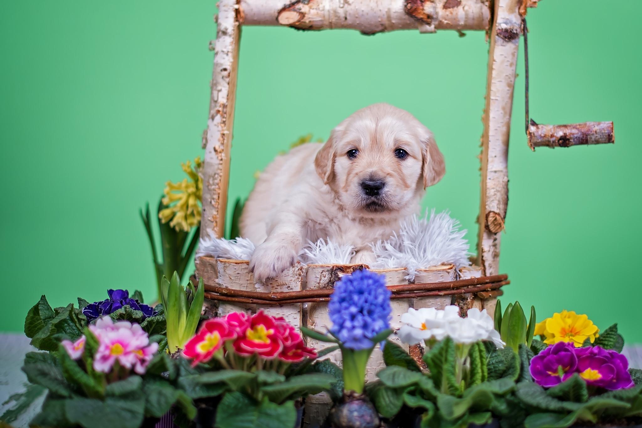 Собаки с цветами картинки, летию
