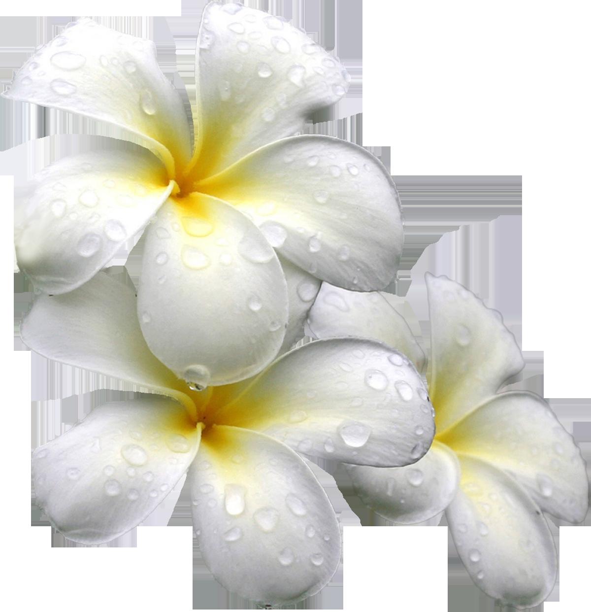 Цветы картинки без заднего фона