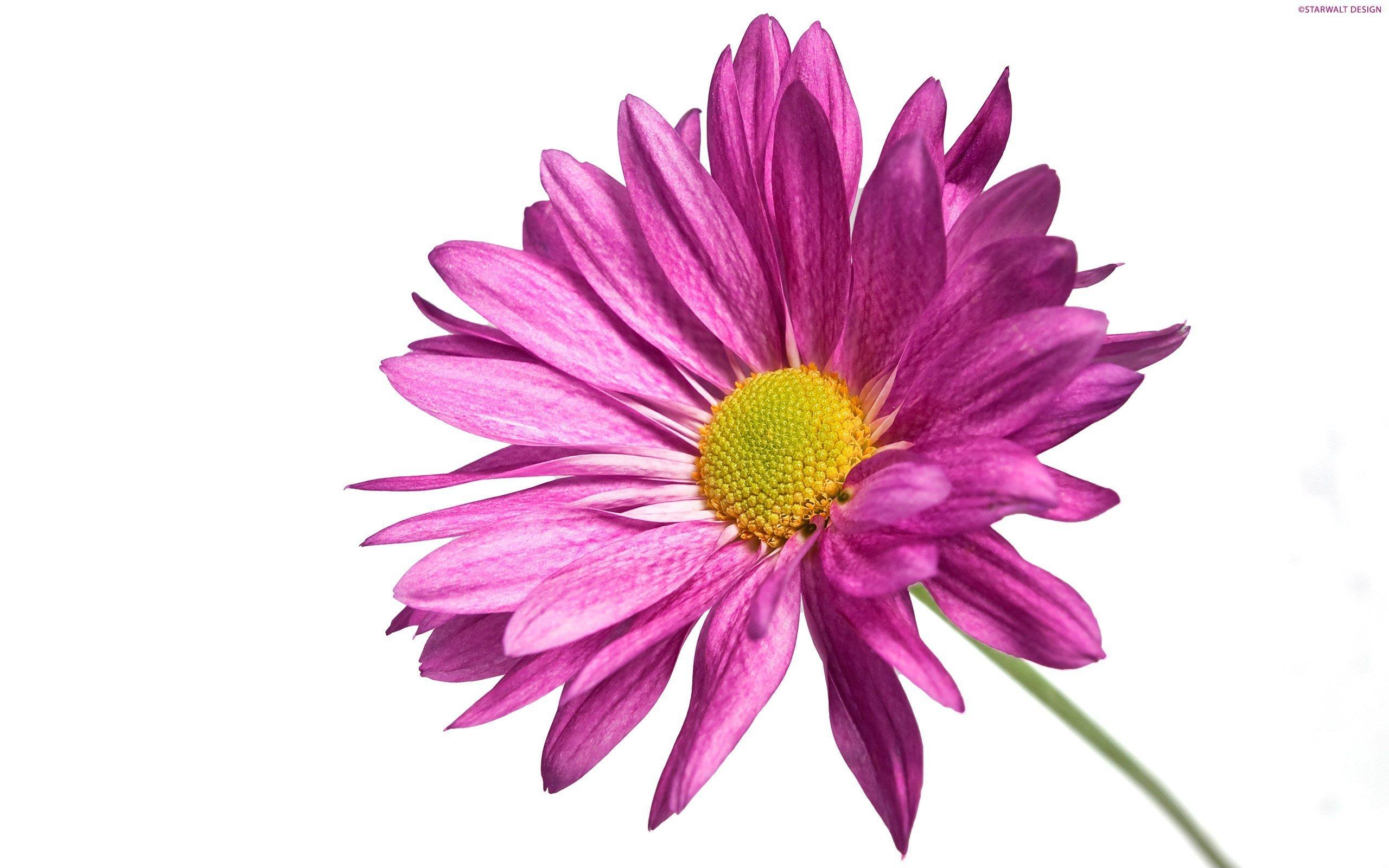 Красивые картинки цветы на белом фоне