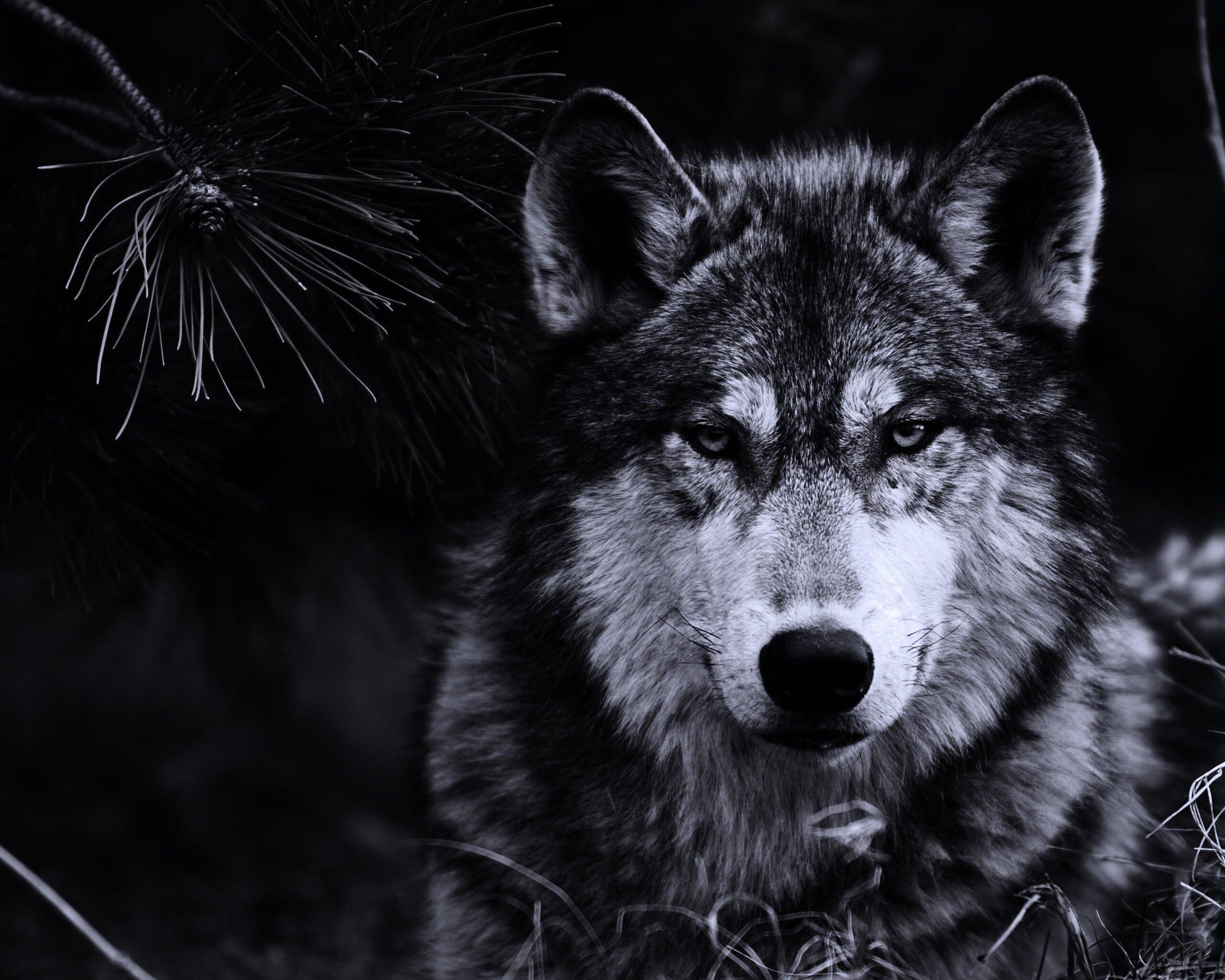 картинки большое разрешение волк центр одних