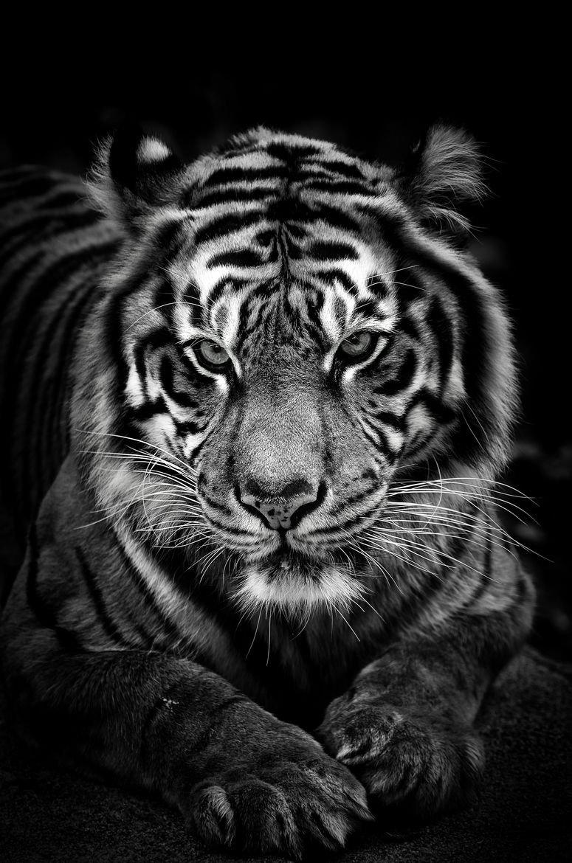 картинки на телефон черно белые тигр своему
