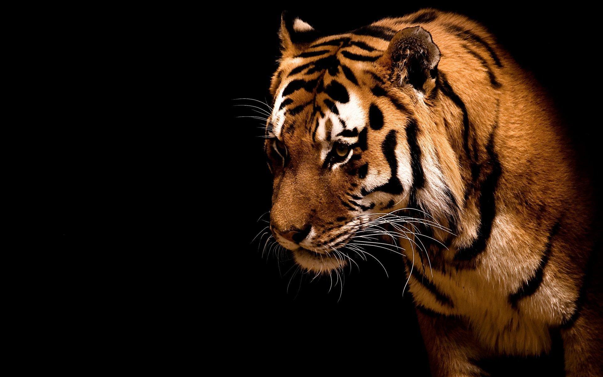 картинка тигренок на черном фоне