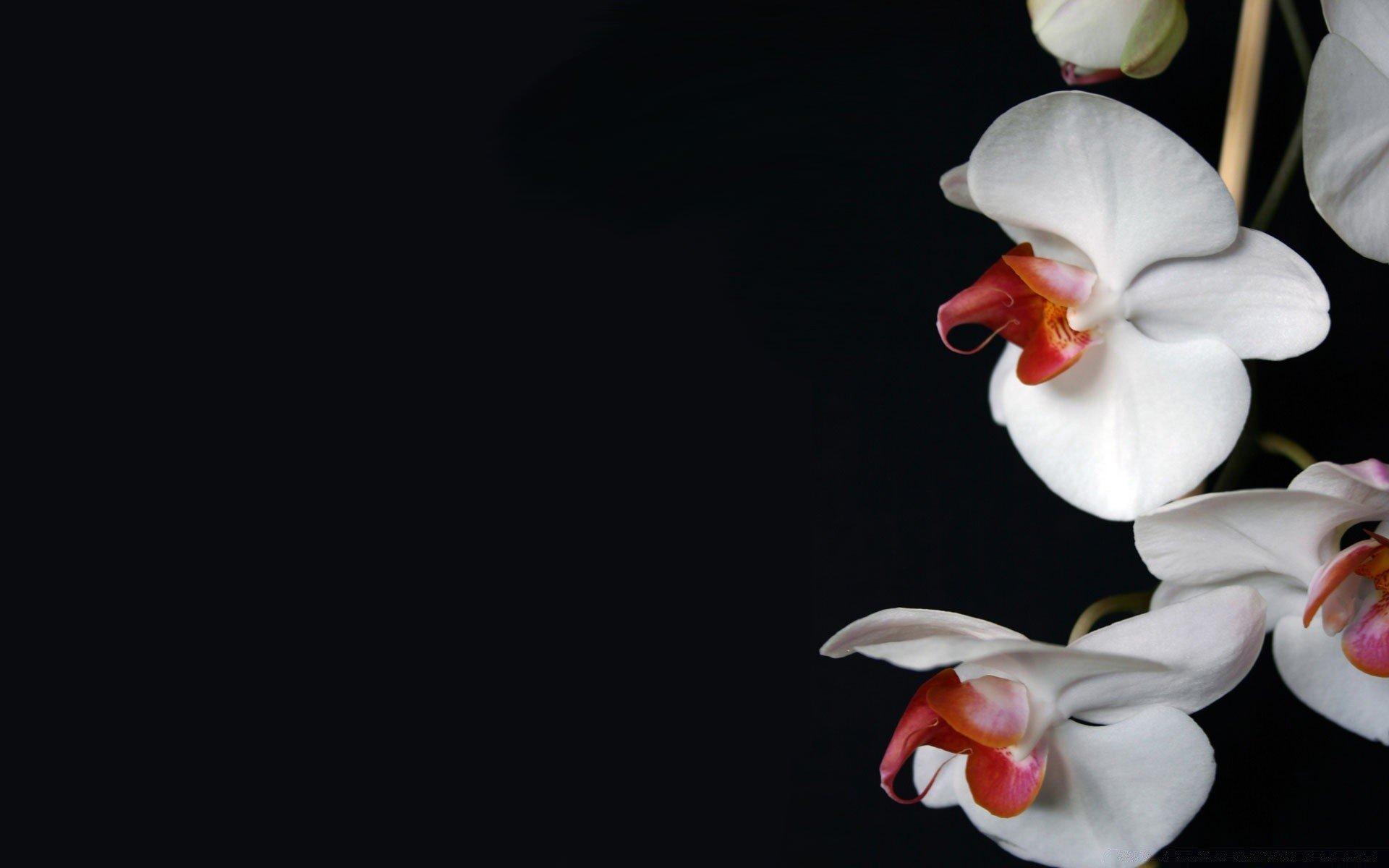фото орхидей на черном фоне высокого качества один крупнейших
