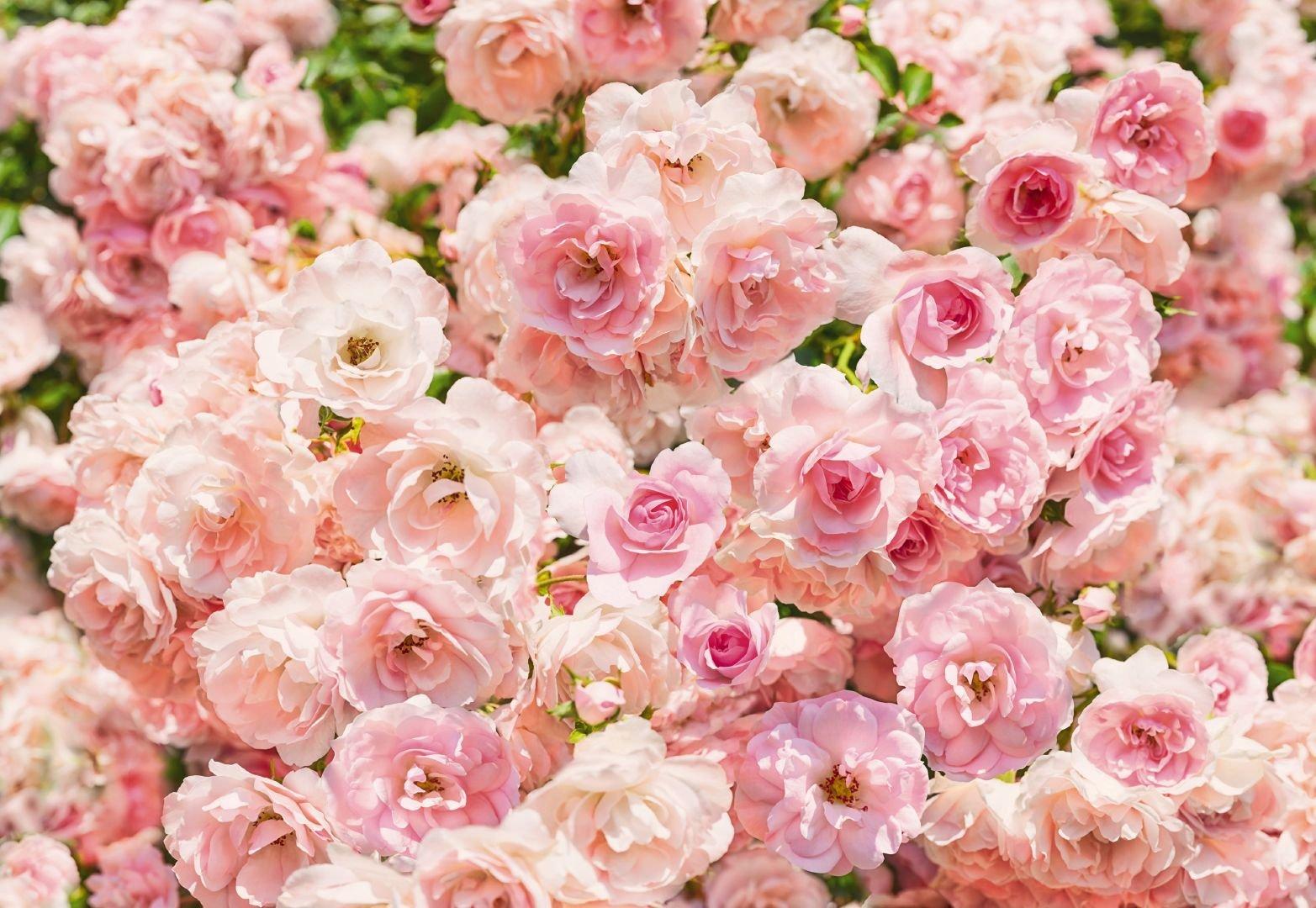 картинки с цветами розового цвета оформлению договора