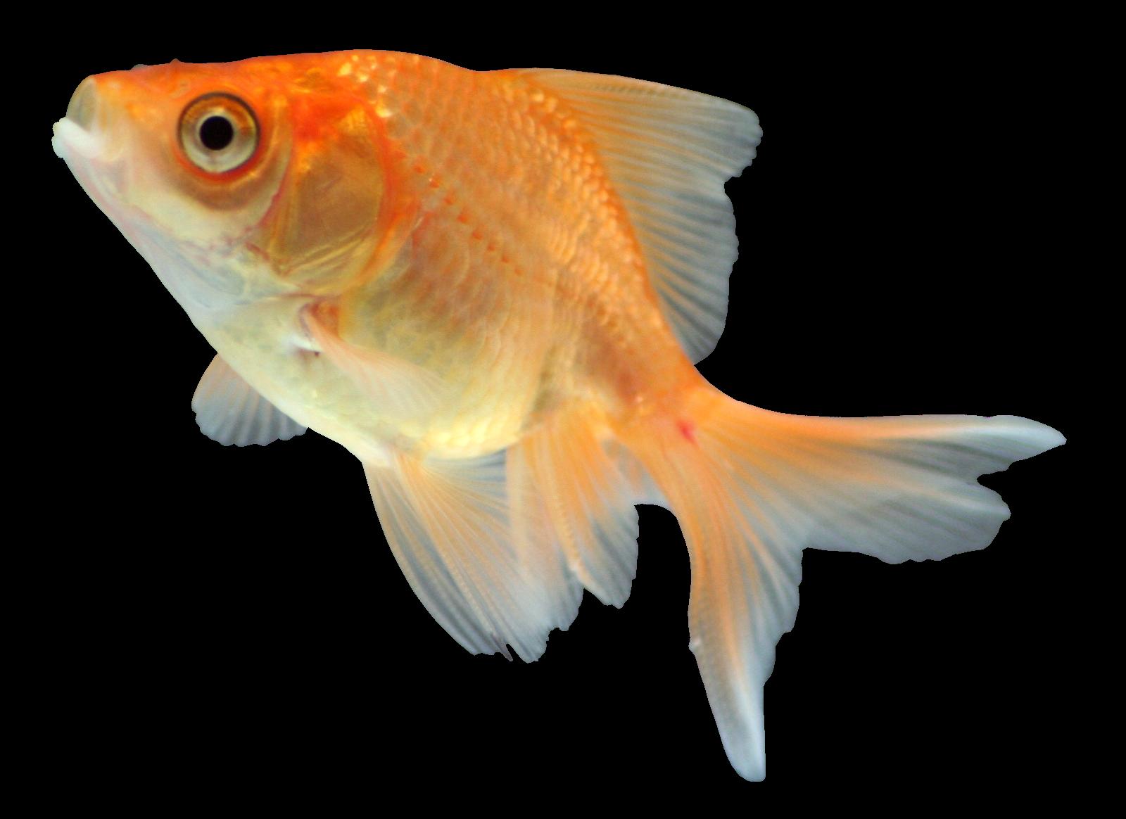 рыбки для аквариума картинки на белом фоне перетянул пока