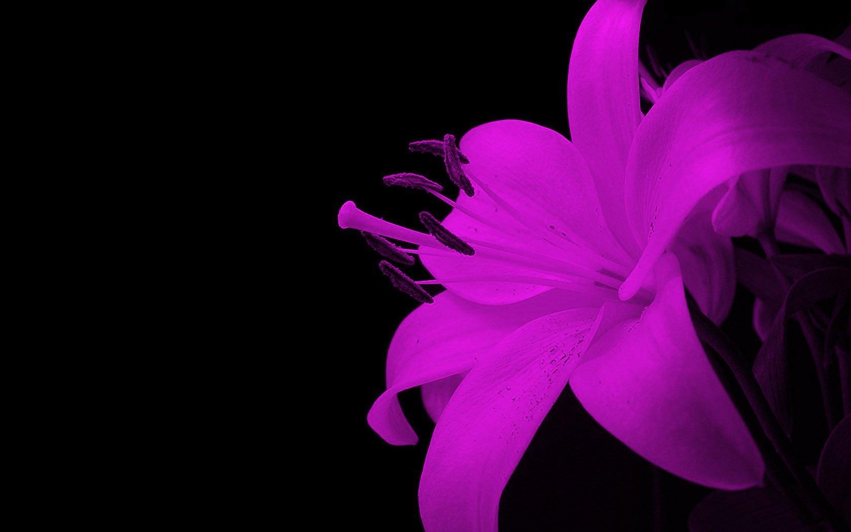 картинки сиреневые цветы на черном фоне него уст